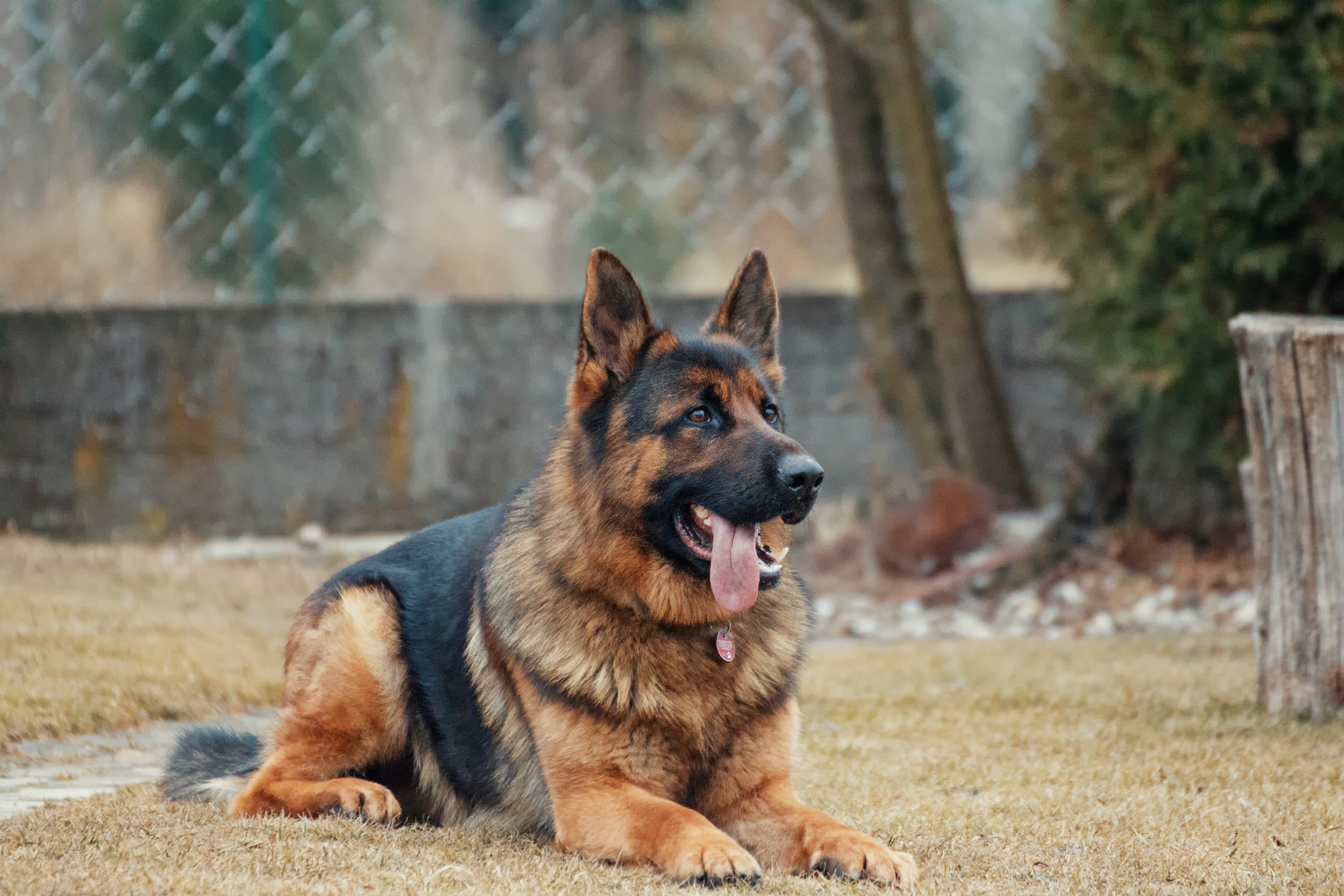 picture of a german shepherd laying on the ground