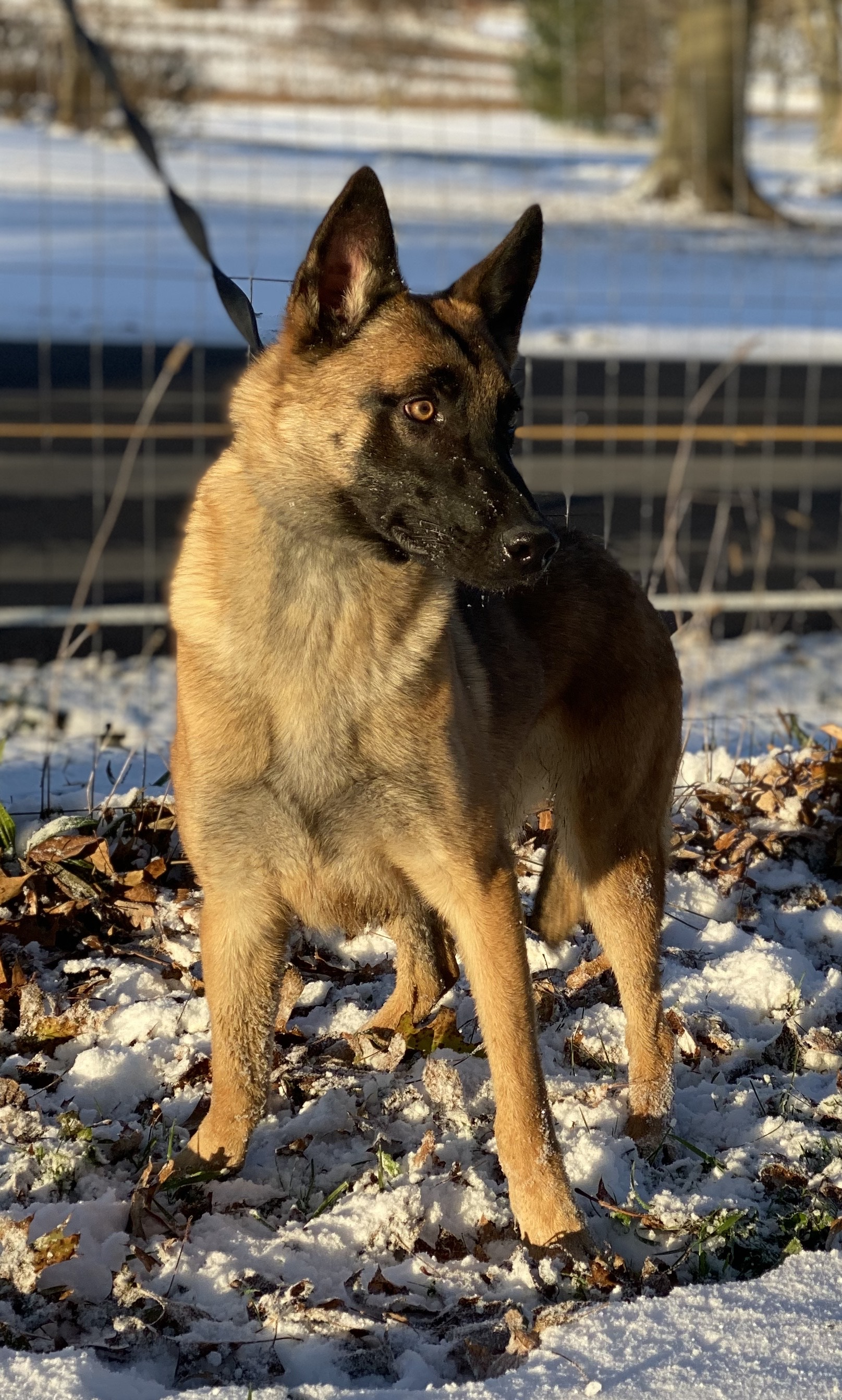 photo of Belgian malinois Milka